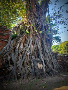 Cabeza de Buda na árbore en Wat Mahathat