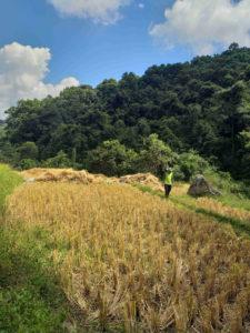 Campo de arroz durante a ruta sendeirismo no Parque Natural