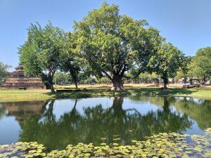 Árbore grande detrás Wat Chana Songkhram no Parque Histórico de Sukhothai
